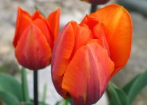 Tulpen als Gartenblumen