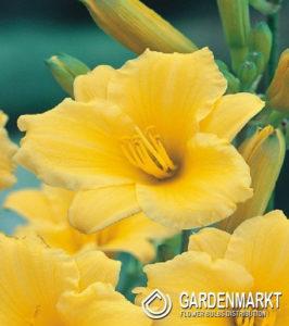 blumenzwiebeln-einpflanzen-pflege-und-ueberwinterung