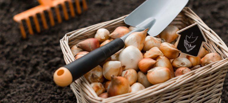 blumenzwiebeln-einpflanzen