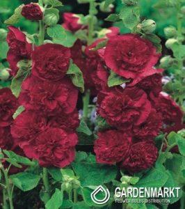 stockrose-malve-rot